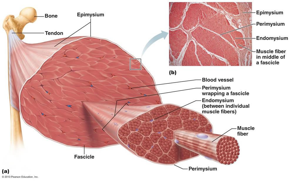 Chapter 9 Muscles And Muscles Tissue Muscles Physiology