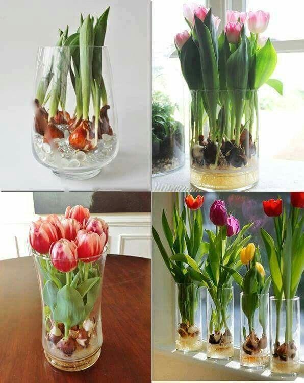 Growing Tulips Knollenpflanzen Tulpen In Vase Bluhende Pflanzen