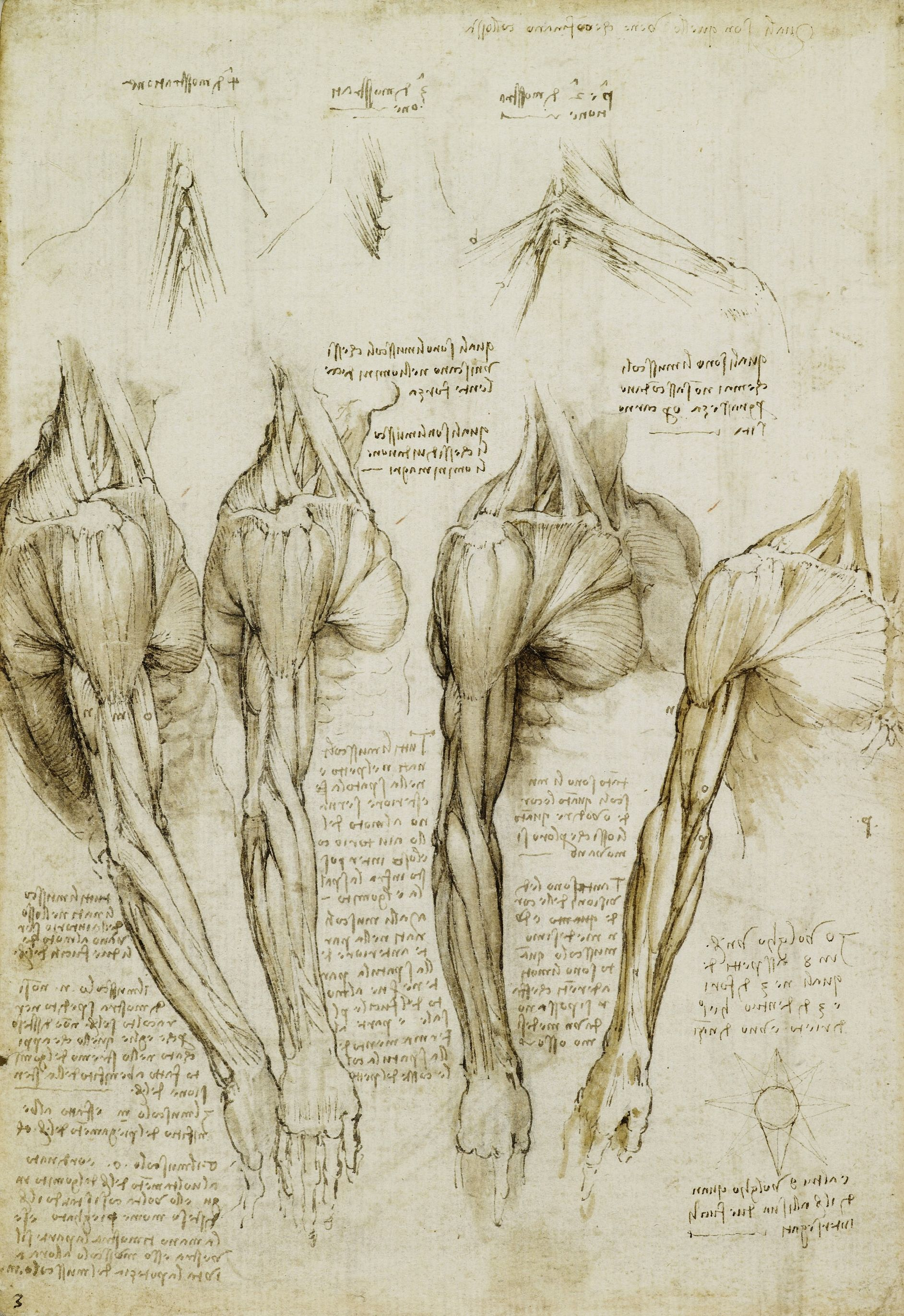 Lamina The Muscles Of The Shoulder Arm And Neck Leonardo Da Vinci Anatomy Drawing Life Drawing Arm Anatomy