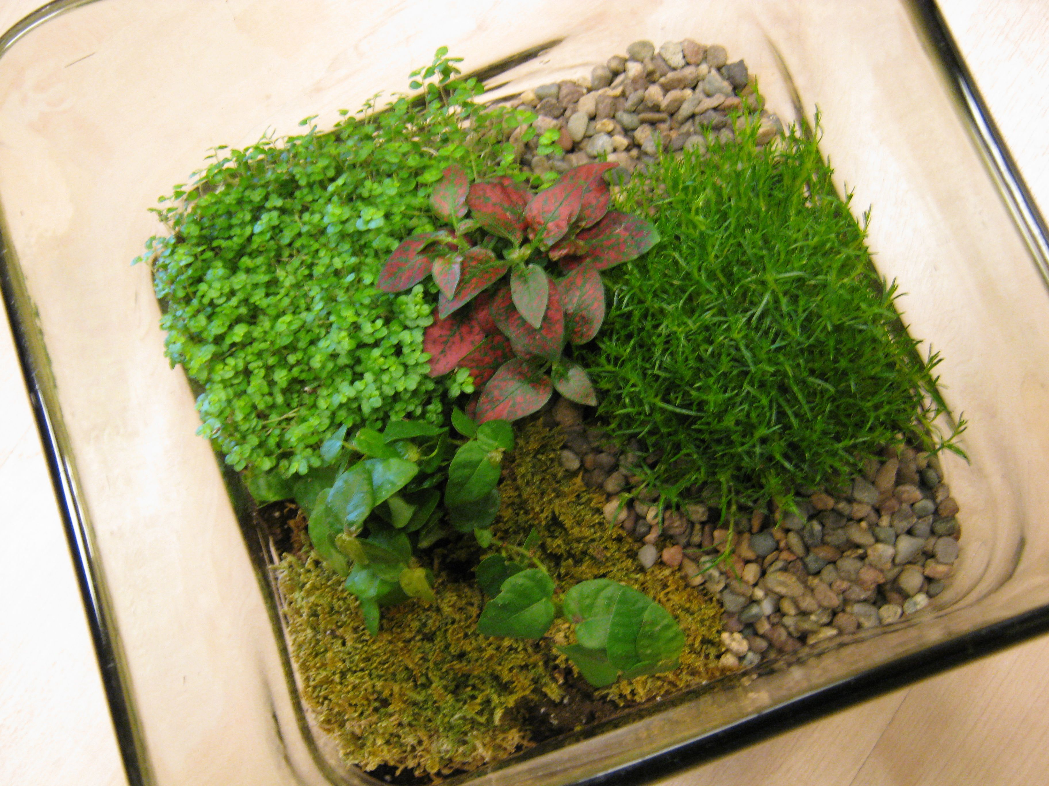 Top view of new terrarium design, also at Spruce. Use baby tears ...