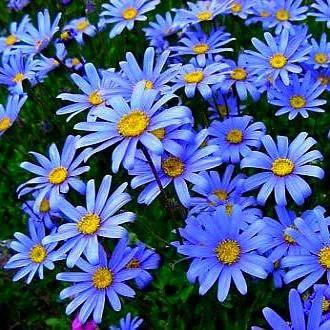 felicia amelloides blue marguerite