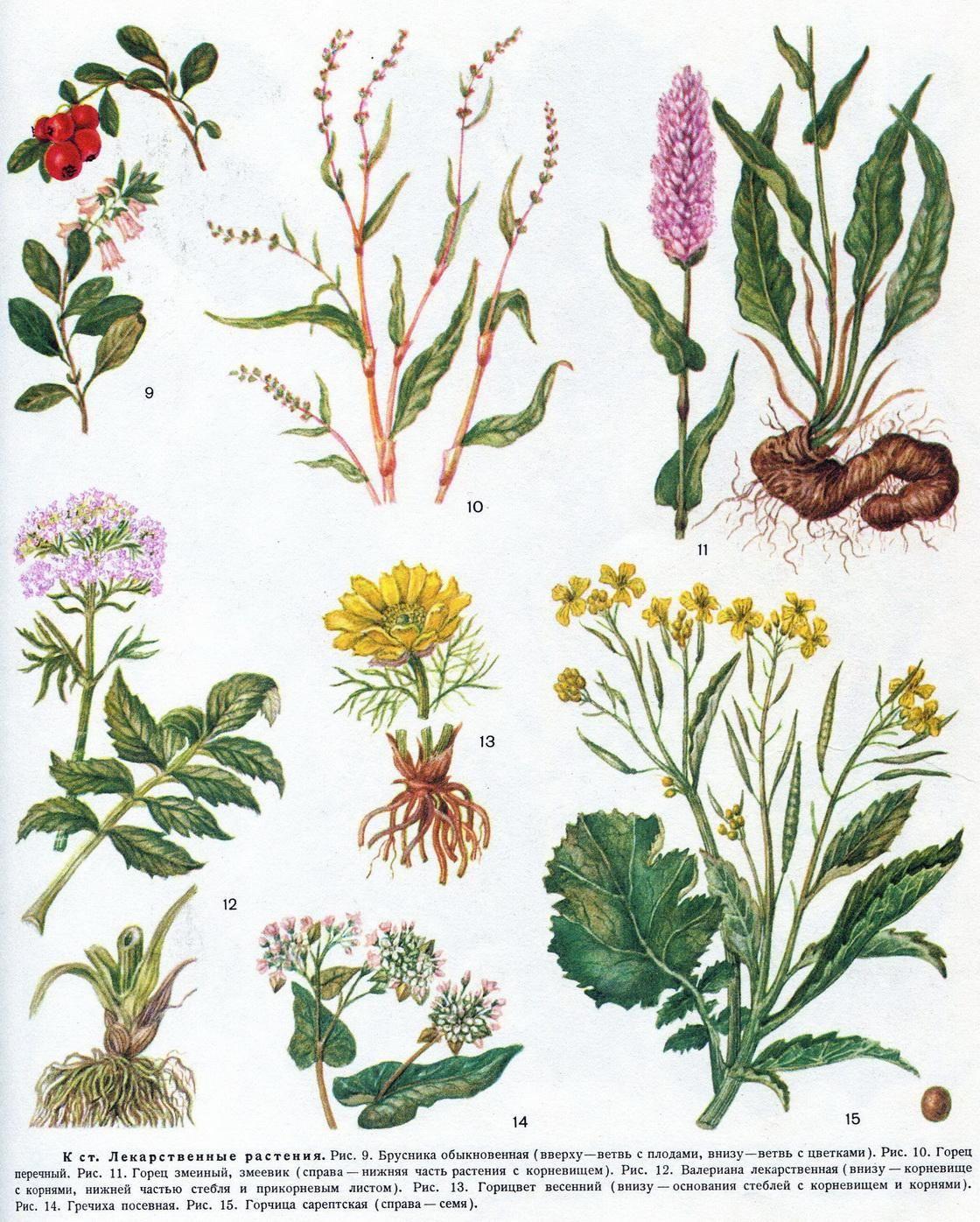 Лекарственный растения картинки
