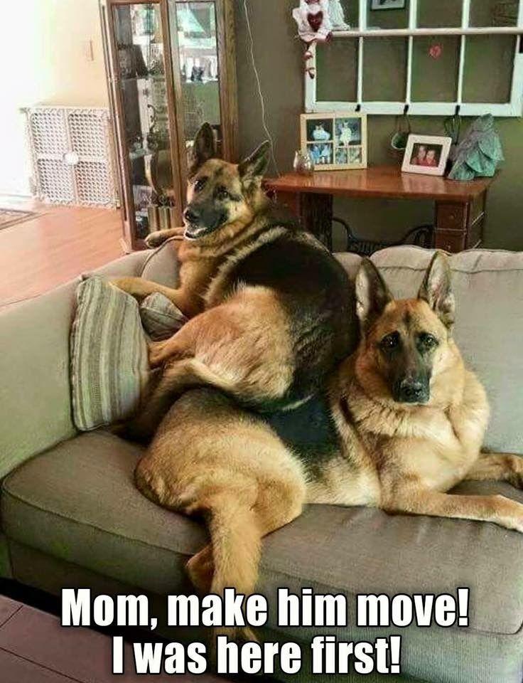Image Result For Funny German Shepherd Memes German Shepherd