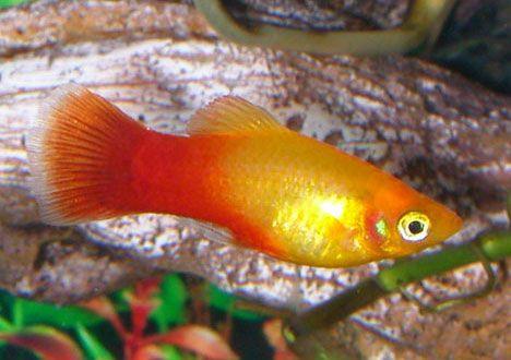 Sunset Platy Aquarium Fish Fish Platy Fish
