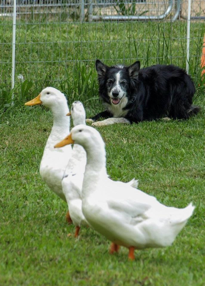 Border Collie Working Ducks Honden
