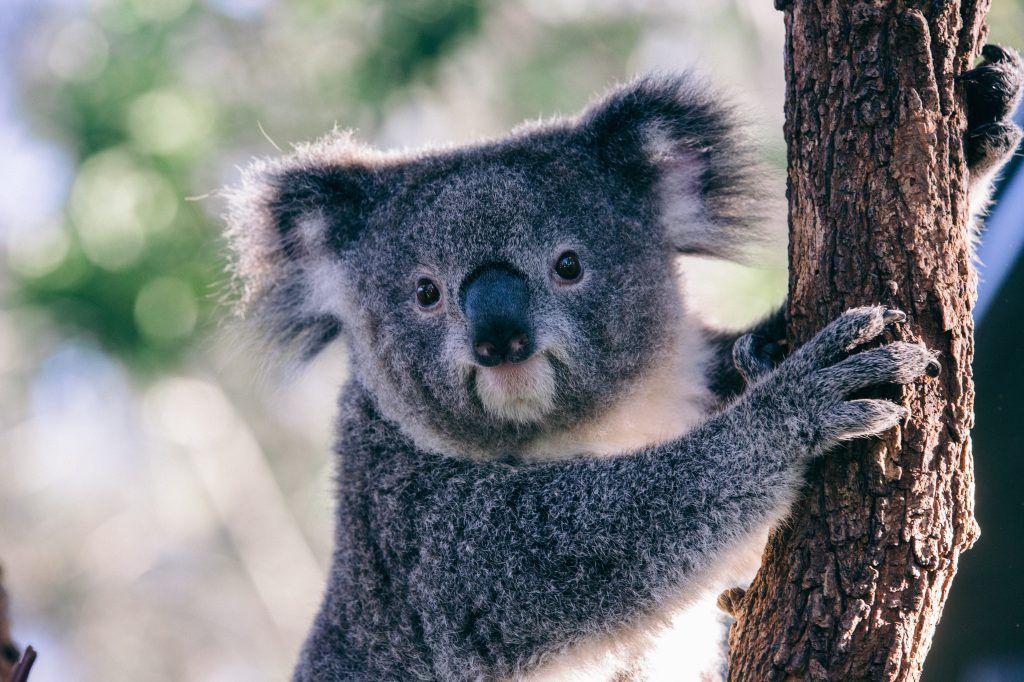 Koala Facts Australian animals, Koala, Animals