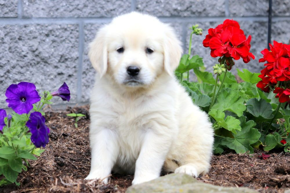 Penelope Golden Retriever Puppy For Sale Keystone Puppies
