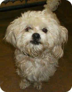 Petfinder Adoptable Dog Maltese Memphis Tn Reesie