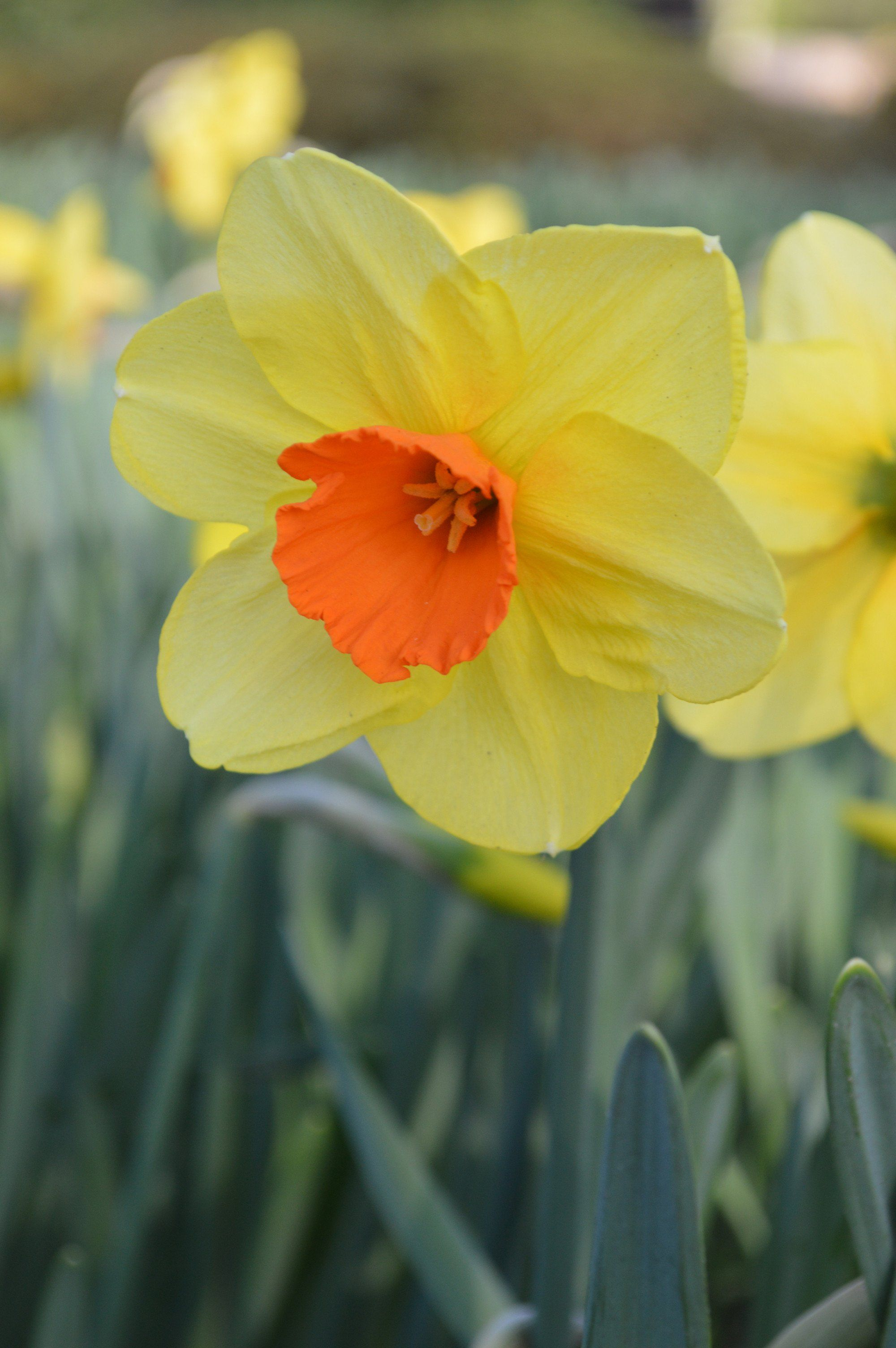 Narcissus Kedron Is A Beautiful Upright Single Daffodil With Fragrant Flowers With Deep Yellow Petals And Orange Bulb Flowers Daffodils Plant Flower Bulbs