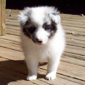 Sheltie Puppies Jonesboro Ar Cute Baby Animals Puppies Baby