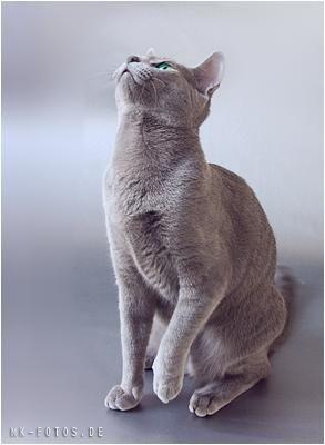 Katze Blue