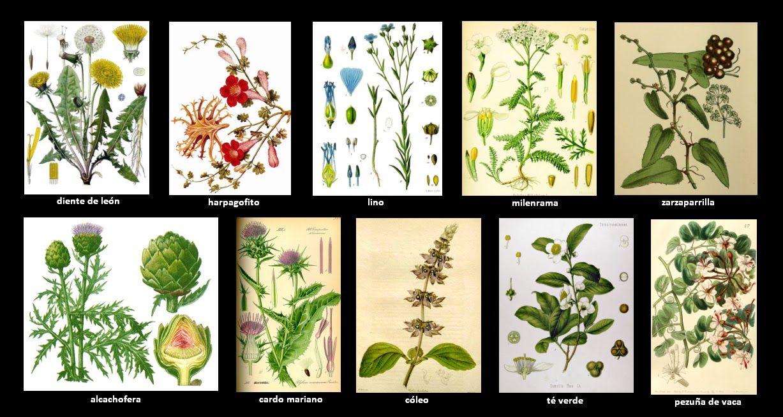 Plantas Medicinales Dibujos Antiguos Buscar Con Google Plantas Medicinales Plantas Flores