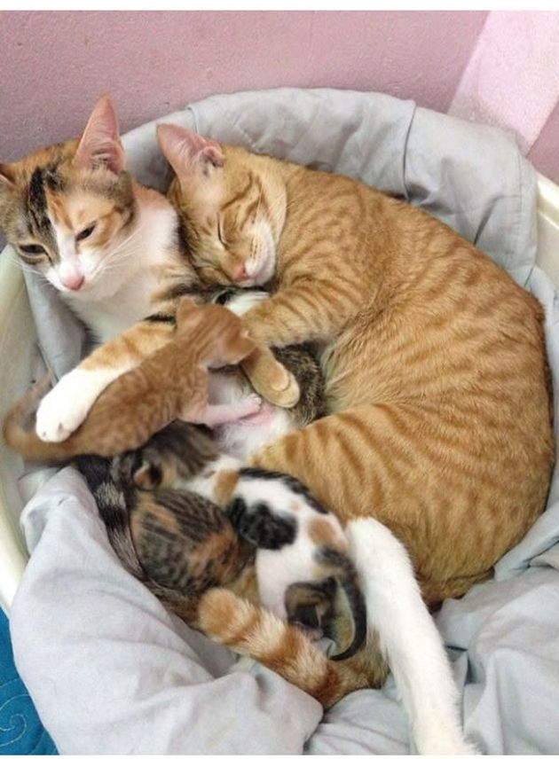 Cat Dad Won T Leave Mom S Side As Their Kids Are Being Born Cat Mom Cat Cuddle Kittens Cutest