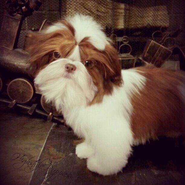 Gorgeous Red Liver And White Shih Tzu Sosey Pups