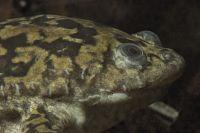 gray frog under water