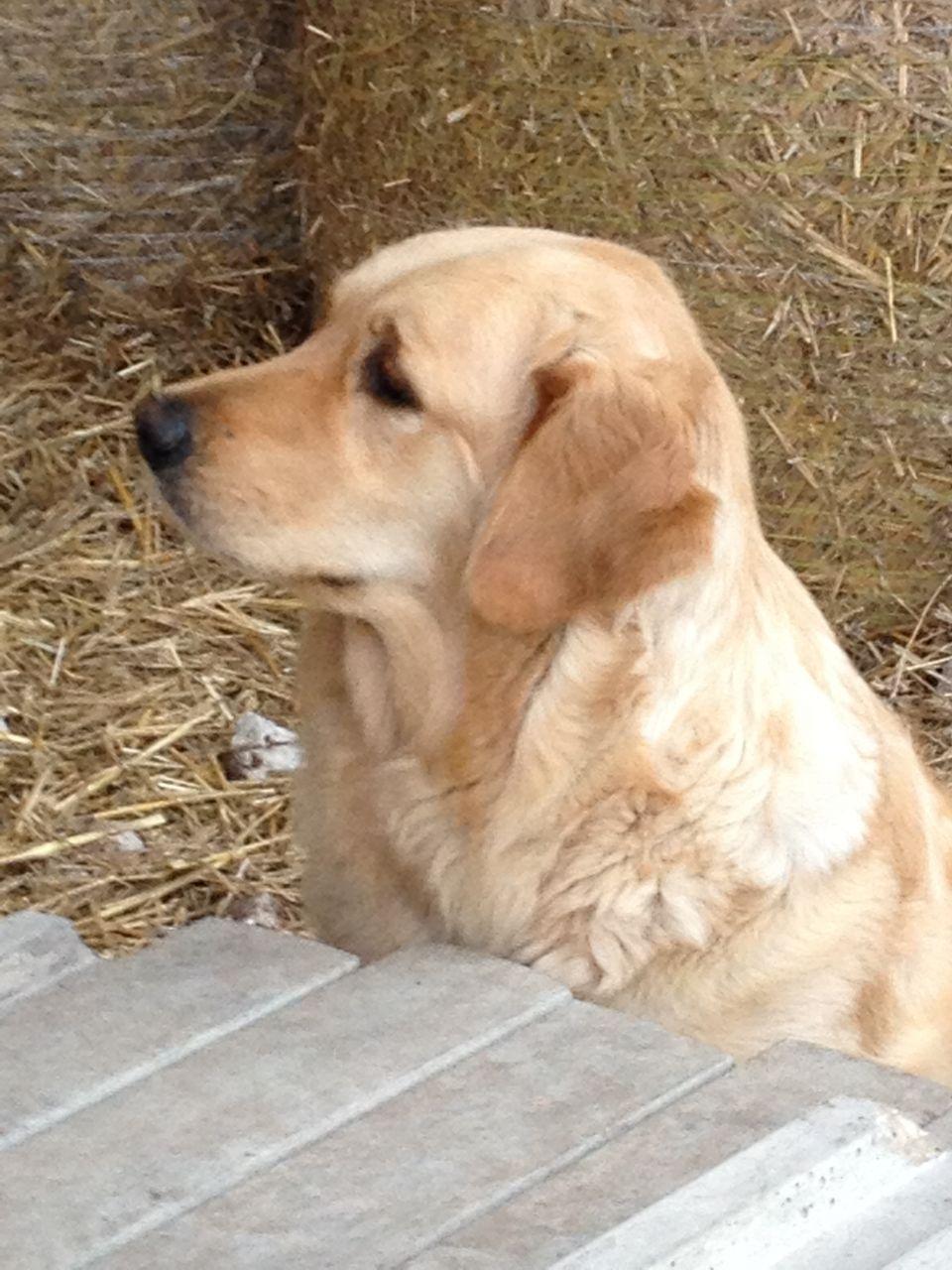 Quality KC registered Golden Retriever puppies. York