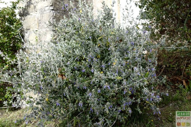 la germandr e arbustive un air de m diterran e fleurs bleues massif et plantes. Black Bedroom Furniture Sets. Home Design Ideas