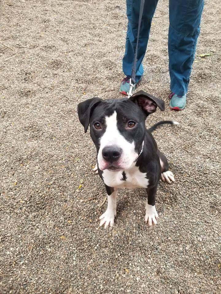 Adopt Rain on Petfinder Pitbull terrier, Terrier mix