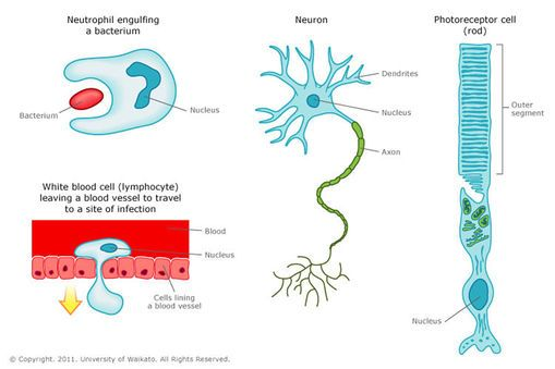 Animal Cells And Their Shapes