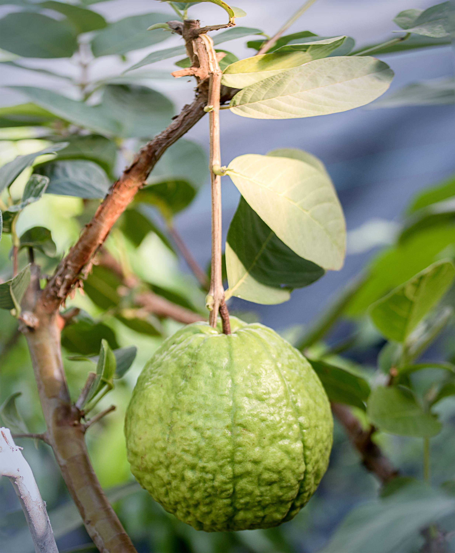 Crystal Guava Fruit Tree Nursery Fruit Garden Fruit