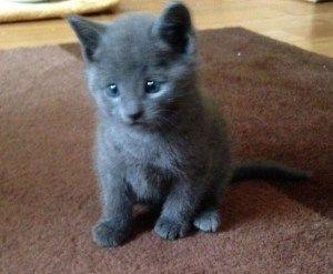 Russian Blue Cats For Sale Near Me Kucing Hewan