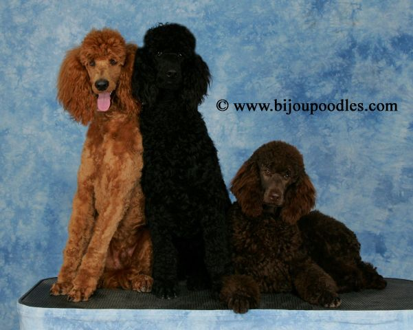The Bijou Poodle Difference Raising Puppies Puppy Raising