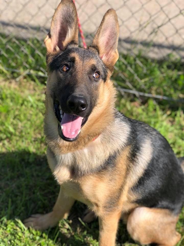 Adopt murphy on petfinder german shepherd dogs dog