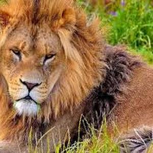 تفسير رؤية حلم الأسد في المنام للعصيمي Lion Pictures Animals Lion