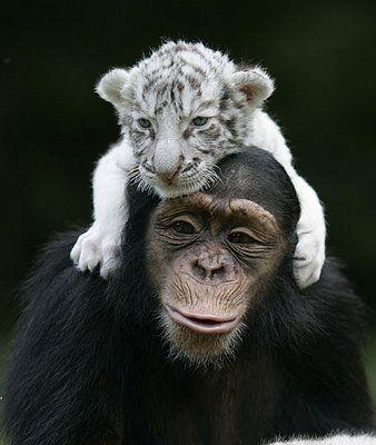 Heartwarming bonding between an orphaned tiger cub and female chimp caretaker