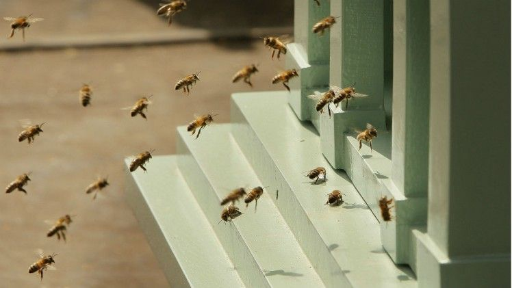 London scientists attach licence plates to 500 bees bee