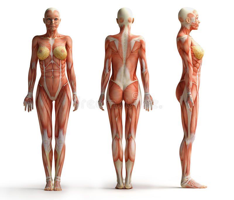 Female Anatomy View Royalty Free Stock Photos - Image: 35423328 ...