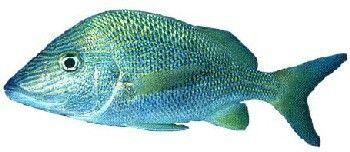 Peixe Cocoroca