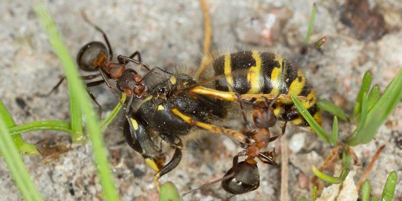 Können Wespen einen Krieg auslösen? Hausmittel und