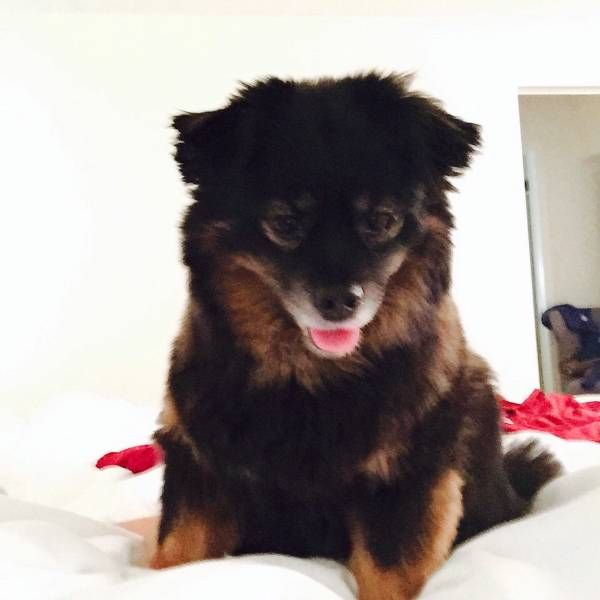 Lost Dog Mixed Breed In Lake George Ny Pet Name Bella Id