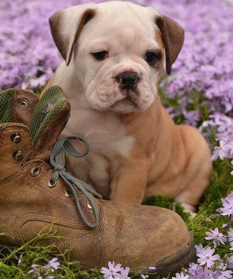 Pug And English Bulldog Miniature Bulldog Mini Bulldog Pet Dogs