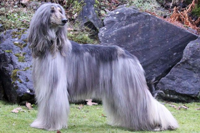 Find Afghan Hound Puppies For Sale And Dogs For Adoption From