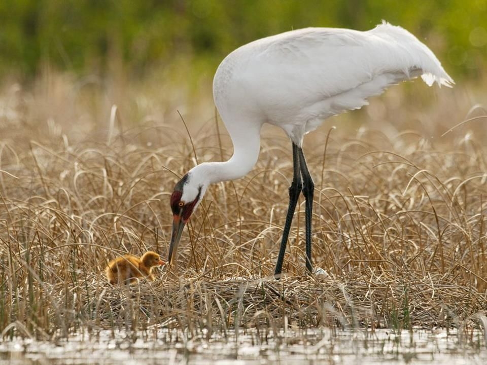 Whooping Crane hatchling ♥ - Almost didn't see the baby.