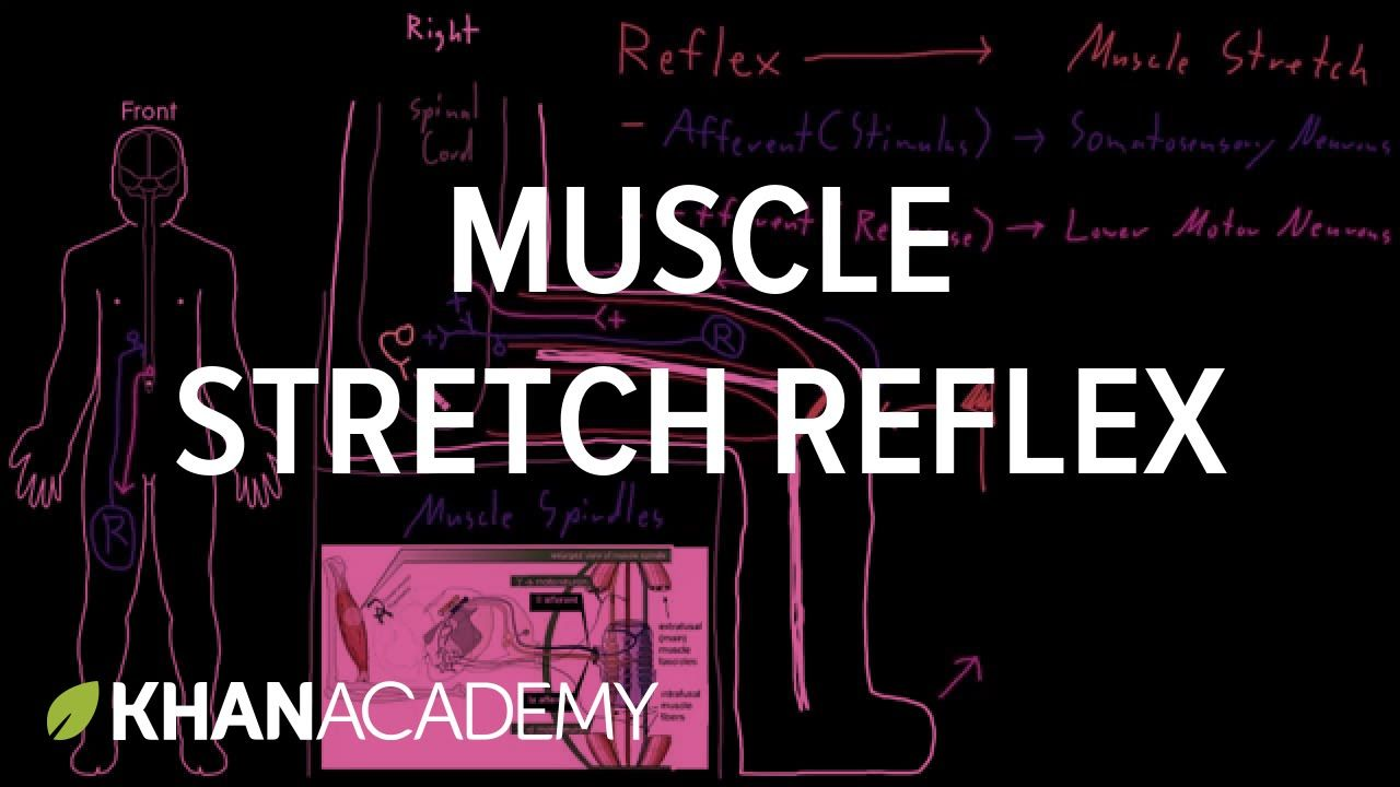 Muscle stretch reflex | Organ Systems | MCAT | Khan Academy ...