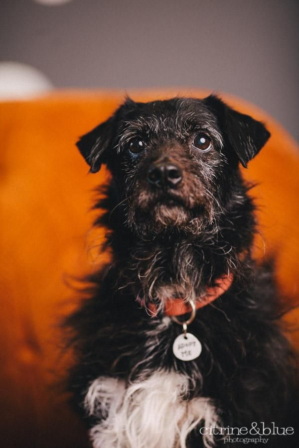 Adopt Baxter Cash On Scottish Terrier Dogs Pets
