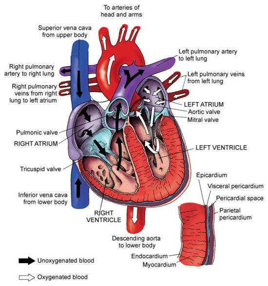 blood flow through heart | nursing/nclex | pinterest | medical, Muscles