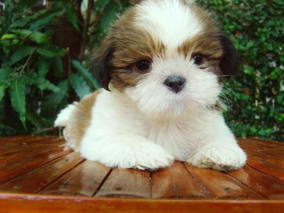 Olx Ph By Sulit Com Ph The Philippines 1 Buy And Sell Website Cute Animals Animals Beautiful Shih Tzu Puppy
