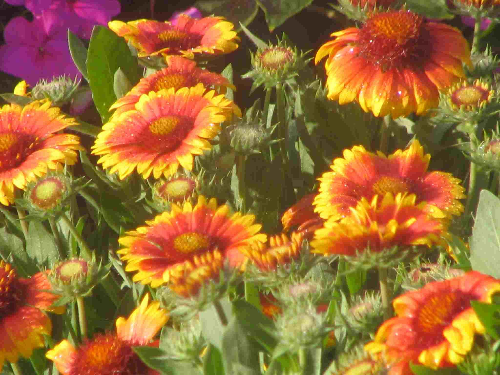 Indian Blanket Very Hardy Plant That Thrives In Hot Areas