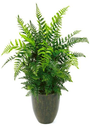Houseplants Safe For Cats Boston Fern Apartment