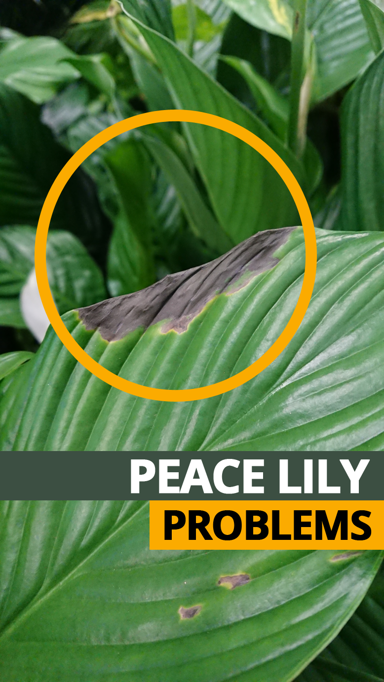 Peace Lily Problems and Common Issues