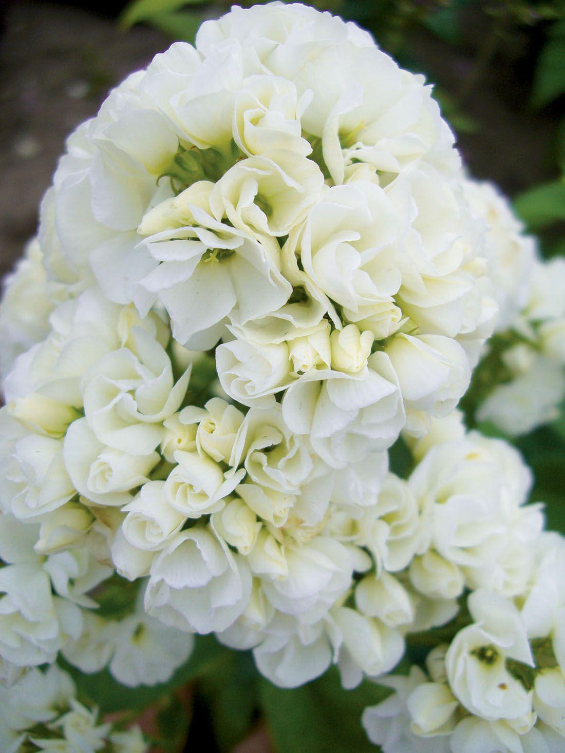 Ganz und zu Extrem Phlox paniculata 'Tiara'   Flowers - Buds, Blossoms & More &YD_32
