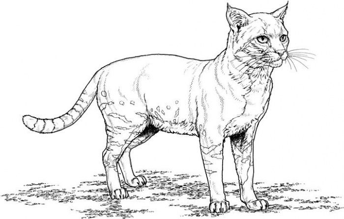 Free Coloring Pages Of Zoo Animal Preschool 350 Cat Coloring
