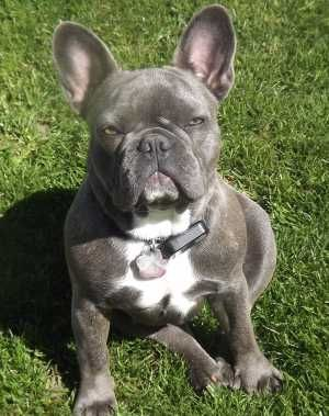 Socal French Bulldogs 145 Jpg 300 379 In 2020 French Bulldog Dog French Bulldog Blue French Bulldog Breed