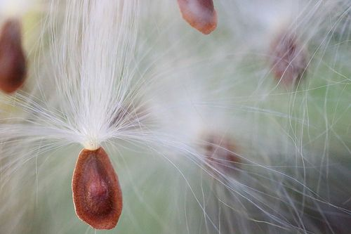 Milkweed Macro Photo