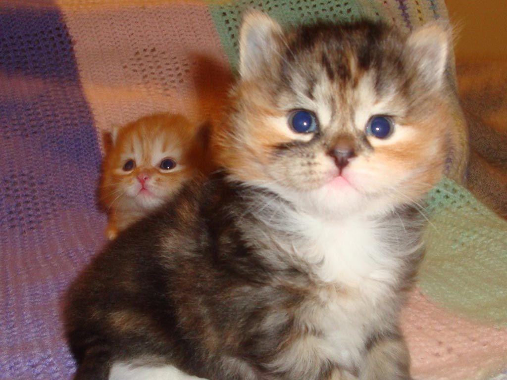 Ragdoll Cats Ragdoll Cat Kittens Ragdoll Kittens Kittens Cutest Siberian Kittens Cute Cats Kittens