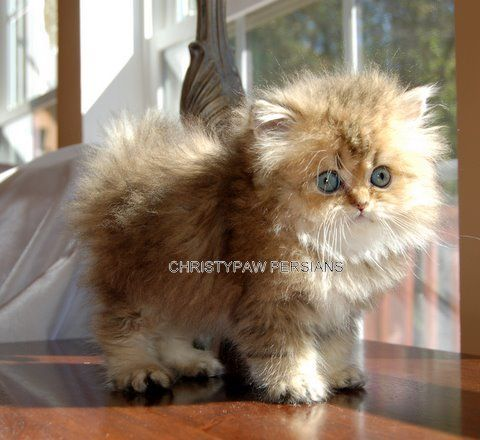 Persian Cat For Sale Golden Chinchilla Persian In 2020 With Images Persian Kittens For Sale